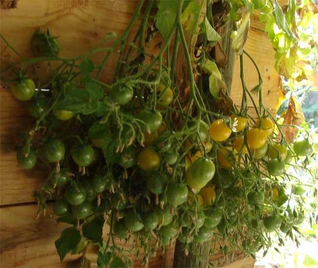 Tomaten_Cherri-gelb_g.jpg