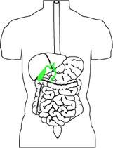 Bild Gallenblase