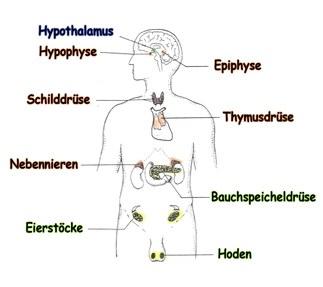 Hormonsystem.jpg